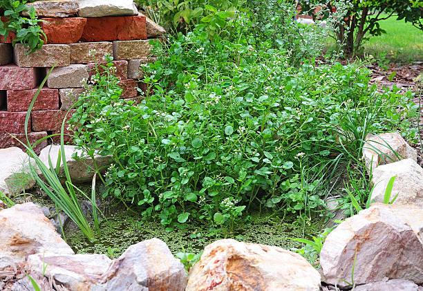 Agrião no jardim, lago - foto de acervo