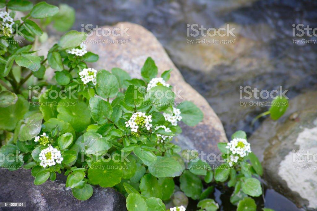 Agrião no jardim da água - foto de acervo