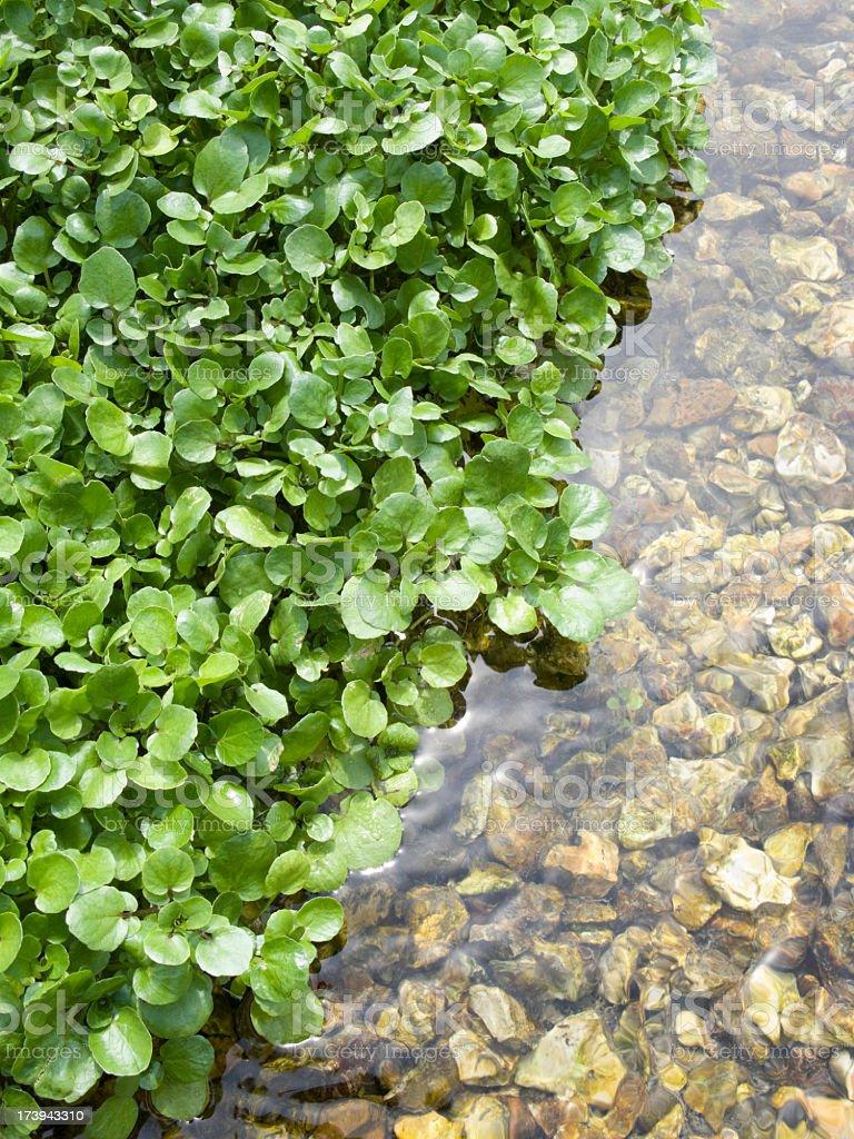 Agrião em água reflexo verticais - foto de acervo