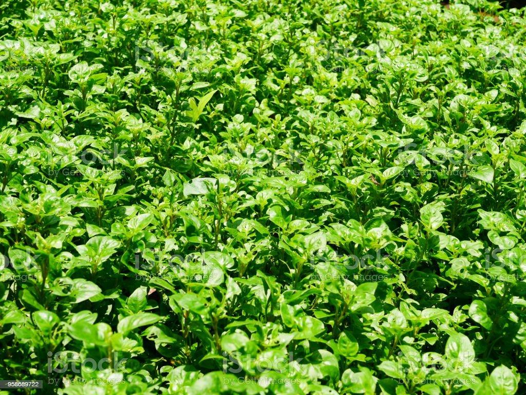 Vegetal de agrião - foto de acervo