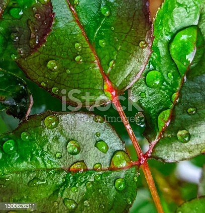 istock Waterdroplets on the colorful leaves 1300626311