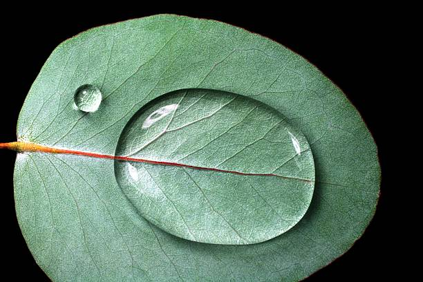 waterdrops on eucalyptus - eucalyptus tree stock photos and pictures