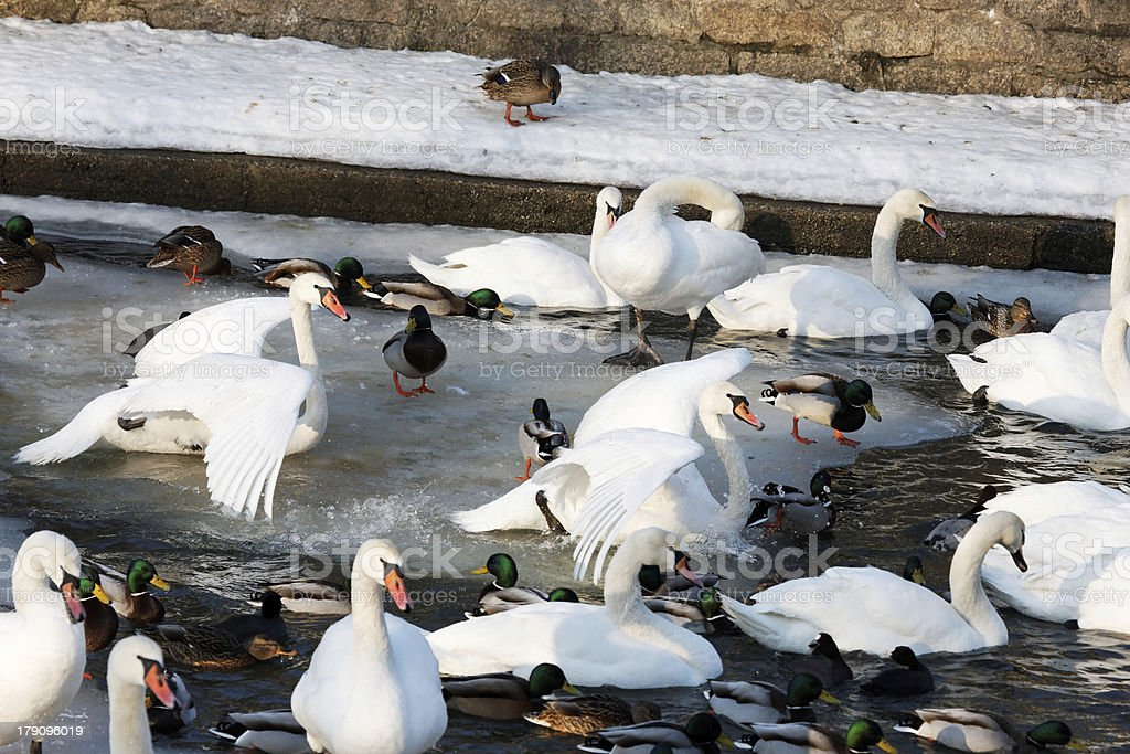 waterfowl by the river royalty-free stock photo