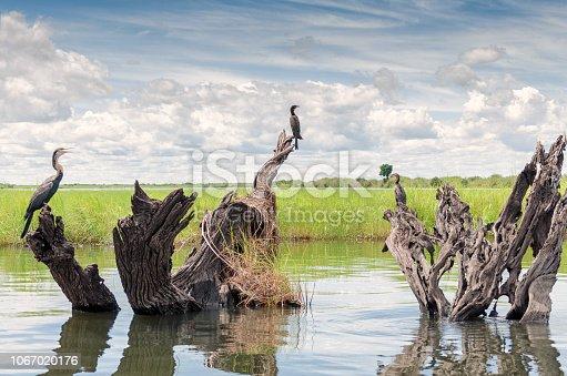 Panorama con uccelli acquatici del fiume Chobe, in Botswana