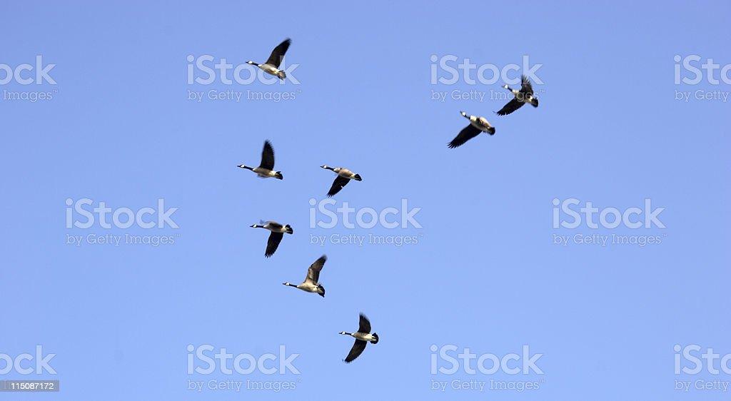 waterfowl scene - winter flight royalty-free stock photo