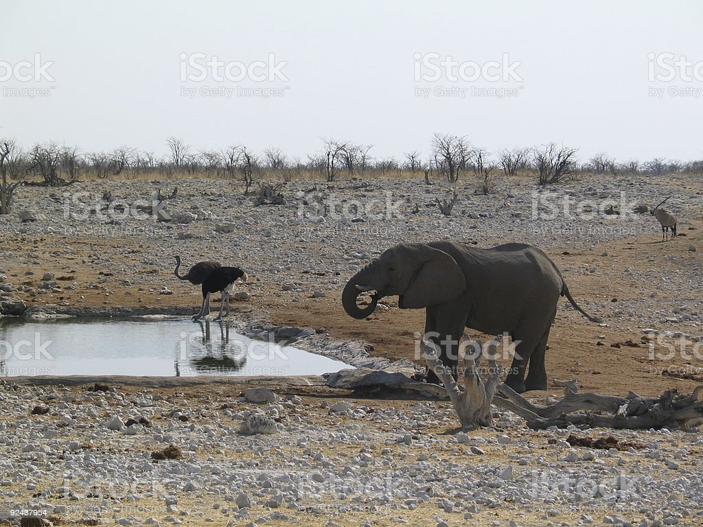 waterhole with ostriches and elephant royalty-free stock photo