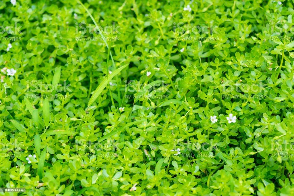 Waterhyssop (Bacopa Monnieri) grüne Pflanze – Foto