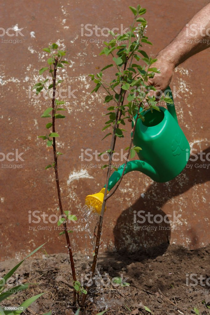Watering a bush stock photo