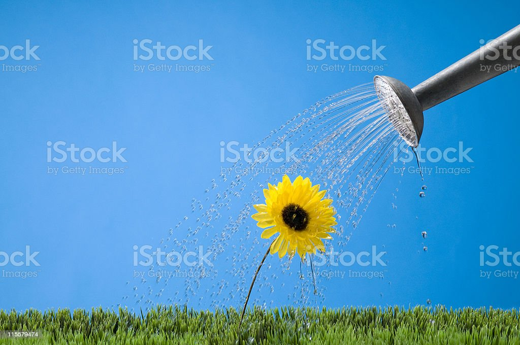 Watering A Flower stock photo