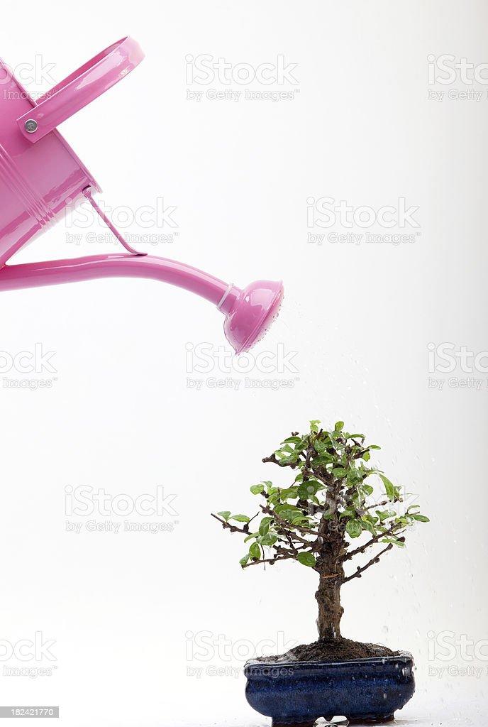 Watering Bonsai Tree Stock Photo Download Image Now Istock