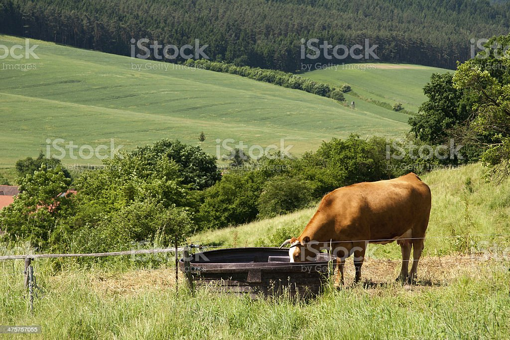 watering bucket and cow stock photo