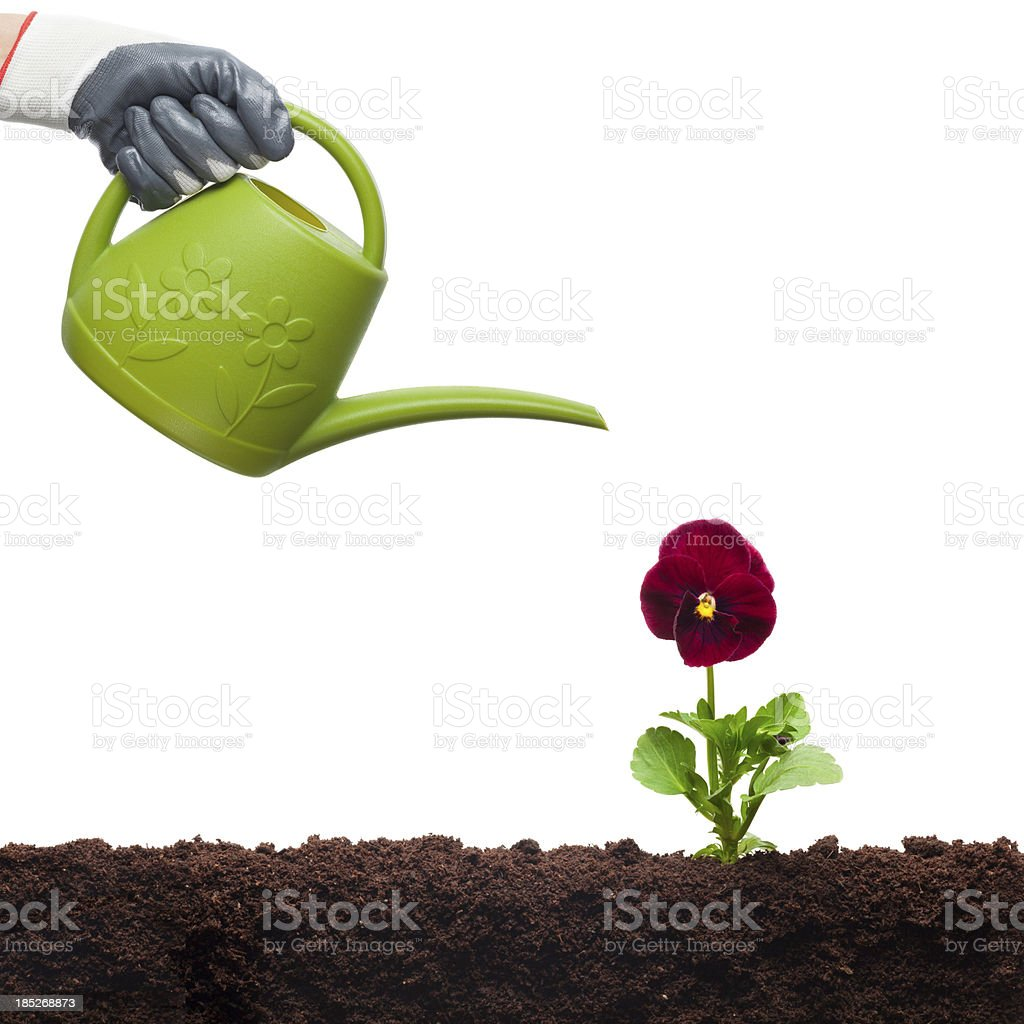 Watering Can and Flower royalty-free stock photo