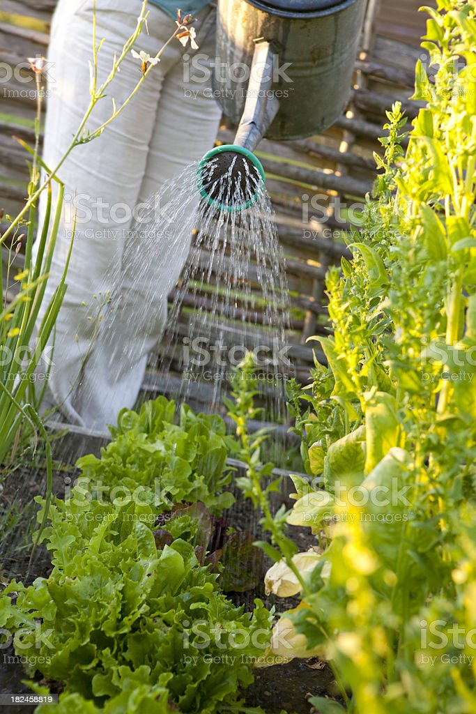 Watering Can Over Lettuce in Vegetable Garden royalty-free stock photo