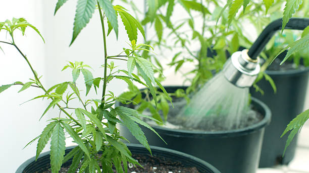 Watering Cannabis Indica Plants in an Indoor Grow Room stock photo