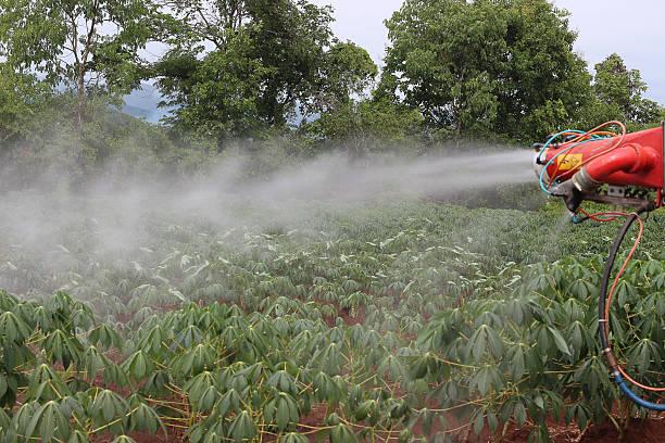 Fazenda de mandioca de dar água na boca - foto de acervo