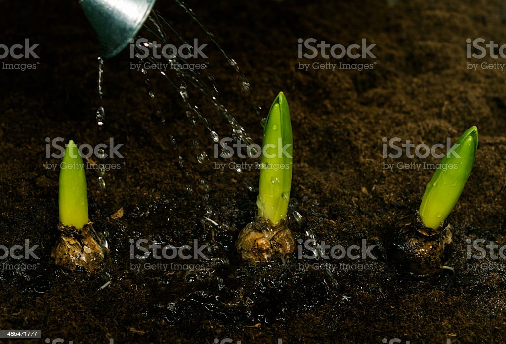 watering flower bulb royalty-free stock photo