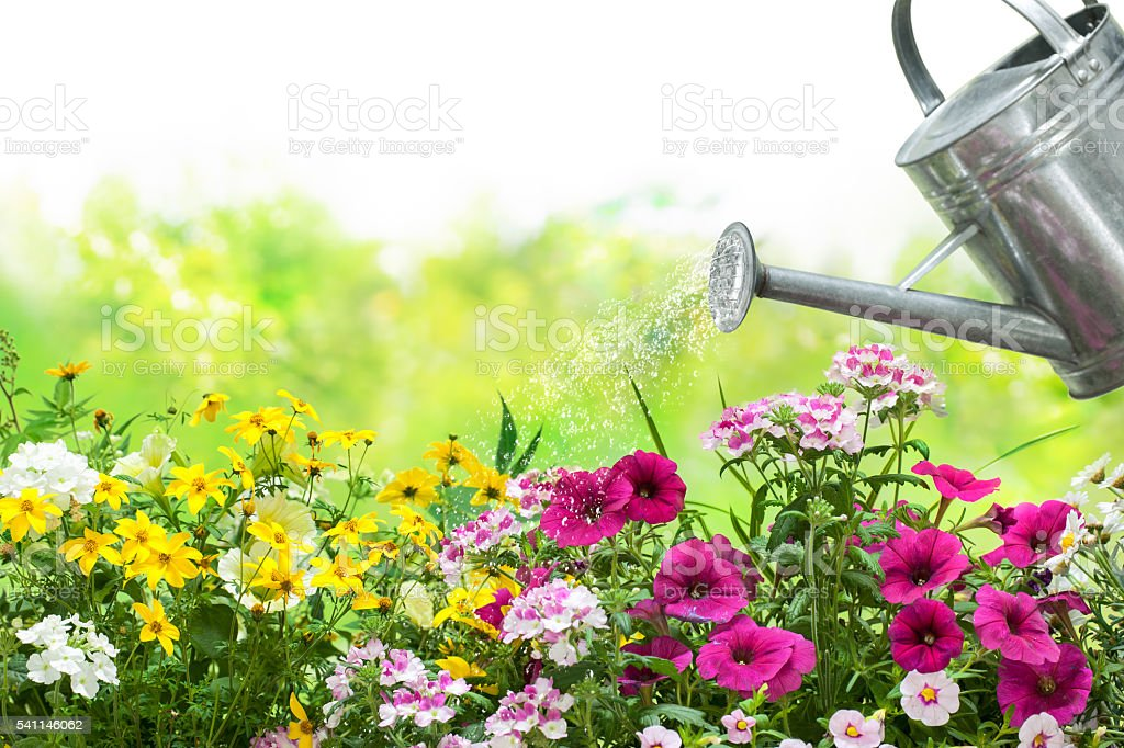 Watering flowers in the garden stock photo