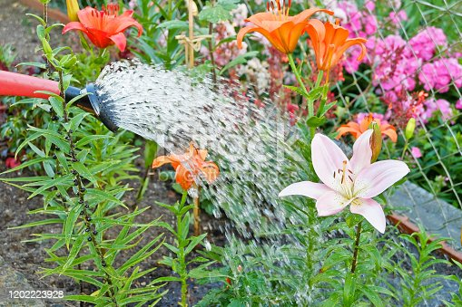 Watering flowers - Lily - Gardening