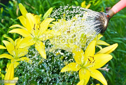 Watering flowers - Yellow Lily - Gardening
