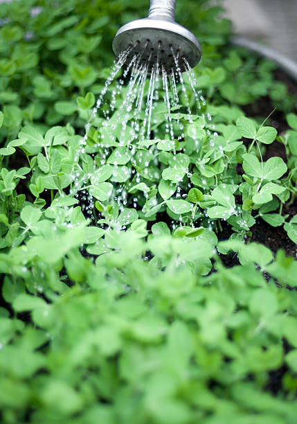 watering garden greens - kellyjhall stock pictures, royalty-free photos & images
