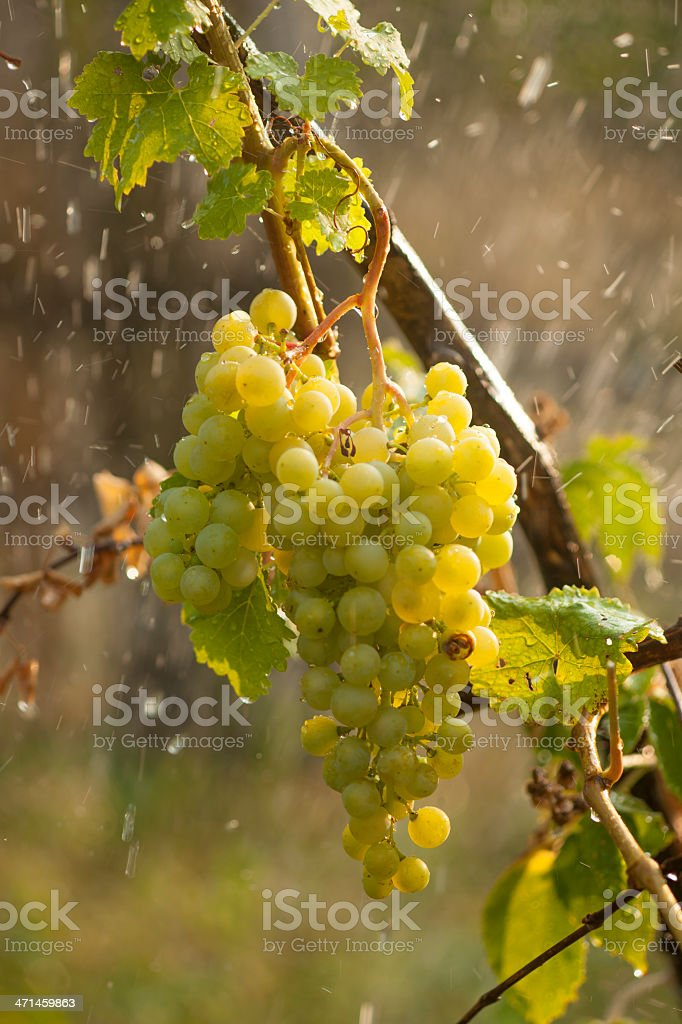 Watering grapes artificial rain royalty-free stock photo