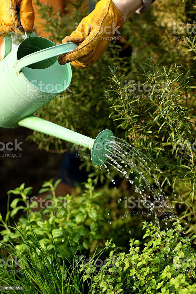 Watering herbs stock photo