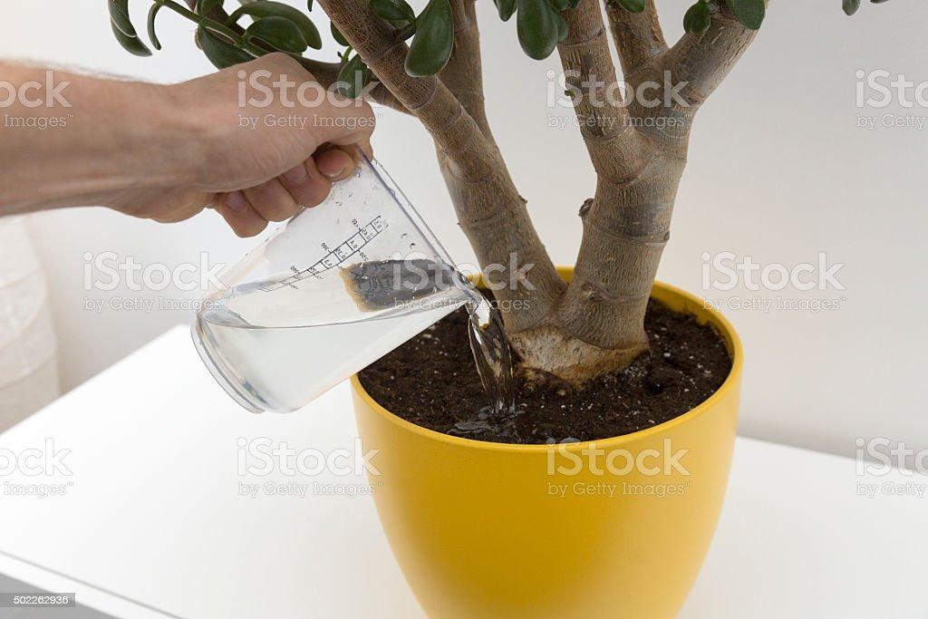 watering indoor plant stock photo