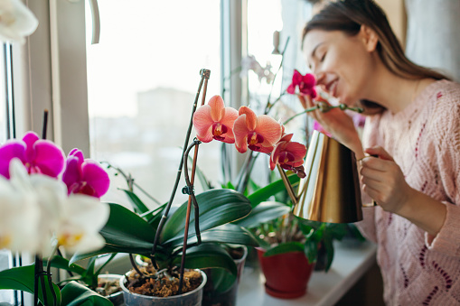 Watering orchids phalaenopsis with golden metal watering can. Woman taking care of home plants and smelling flowers on window sill. Home hobbies