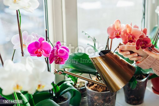 Watering orchids phalaenopsis with golden metal watering can. Woman taking care of home plants and flowers on window sill. Home hobbies