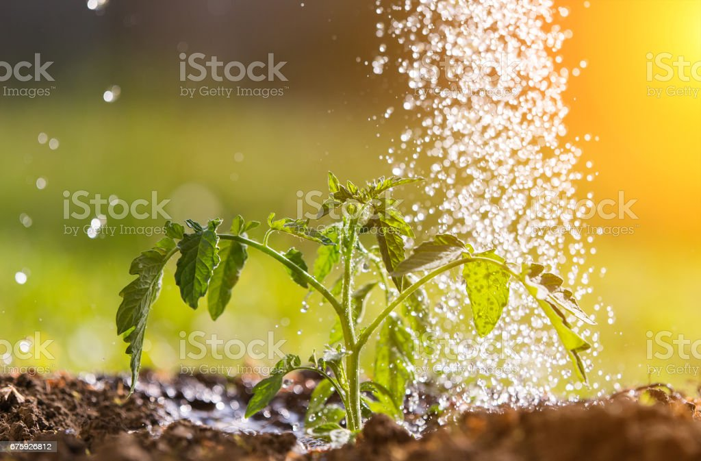 Watering seedling tomato plant in greenhouse garden stock photo
