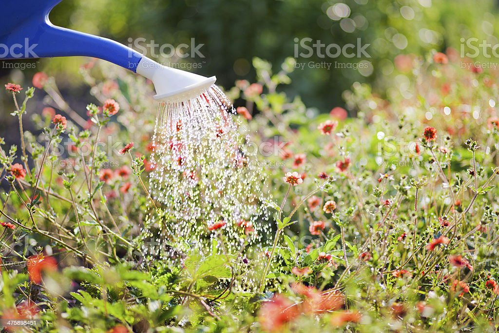 Watering the flowers royalty-free stock photo