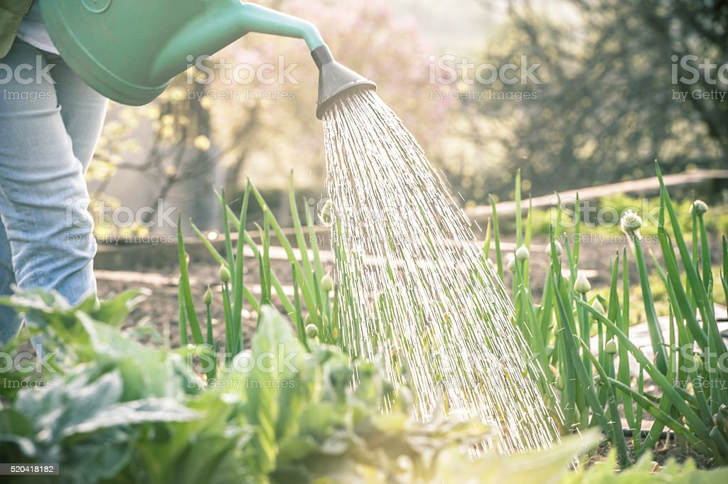 Watering the Vegetable Garden at Sunset stock photo