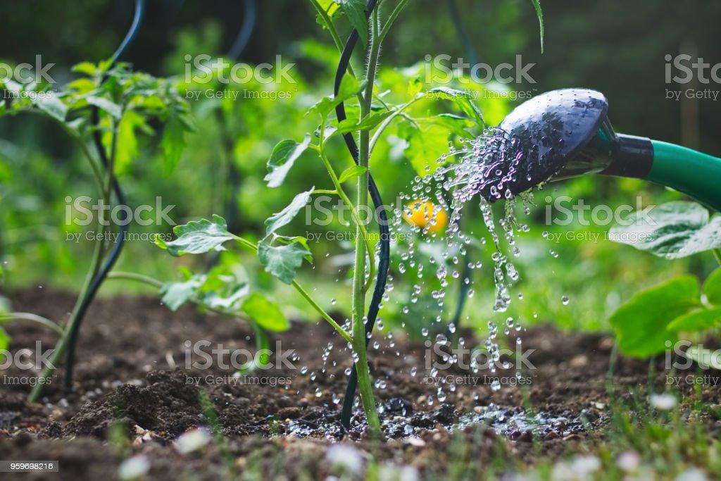 유기 정원에서 급수 토마토 모 종 - 로열티 프리 0명 스톡 사진