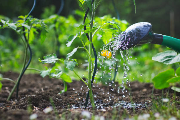 watering tomatoes seedling in organic garden - watering stock pictures, royalty-free photos & images