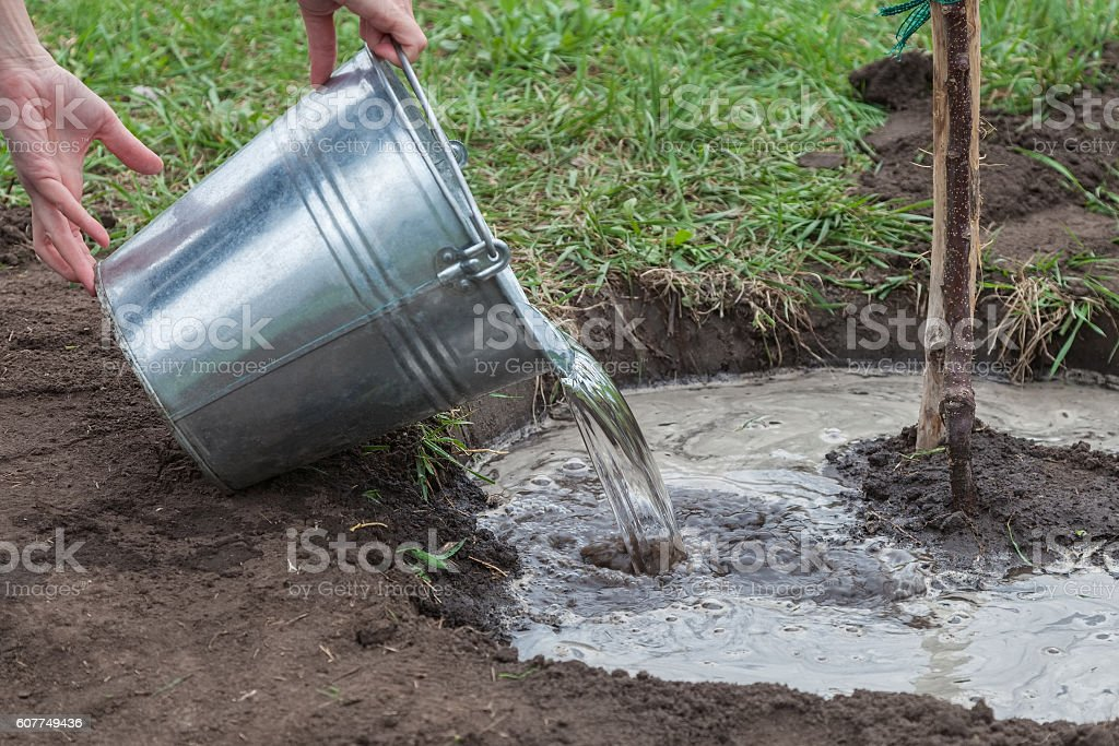 Watering tree seedlings after planting stock photo