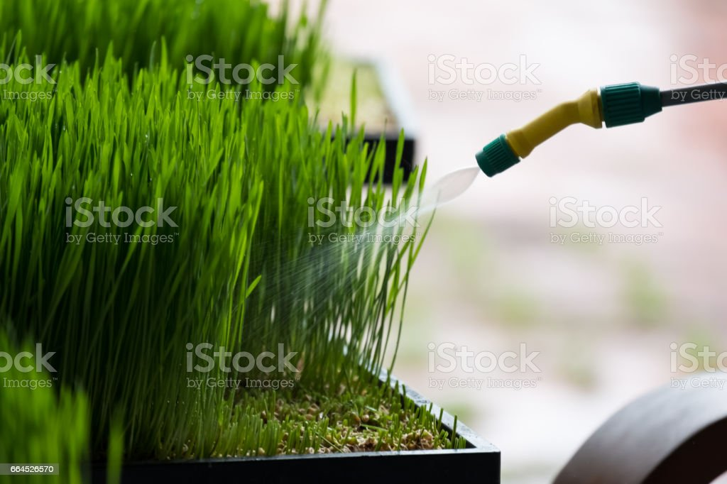 Watering wheat grass royalty-free stock photo