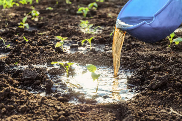 watering with fertilizers of young vegetable shoots. pepper seedlings in open ground. fertilizing soil. - drenched stock pictures, royalty-free photos & images