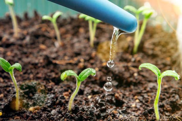 Junger Sämlinge von Tomaten in Behältern gießen. Konzept der Pflanzenpflege – Foto
