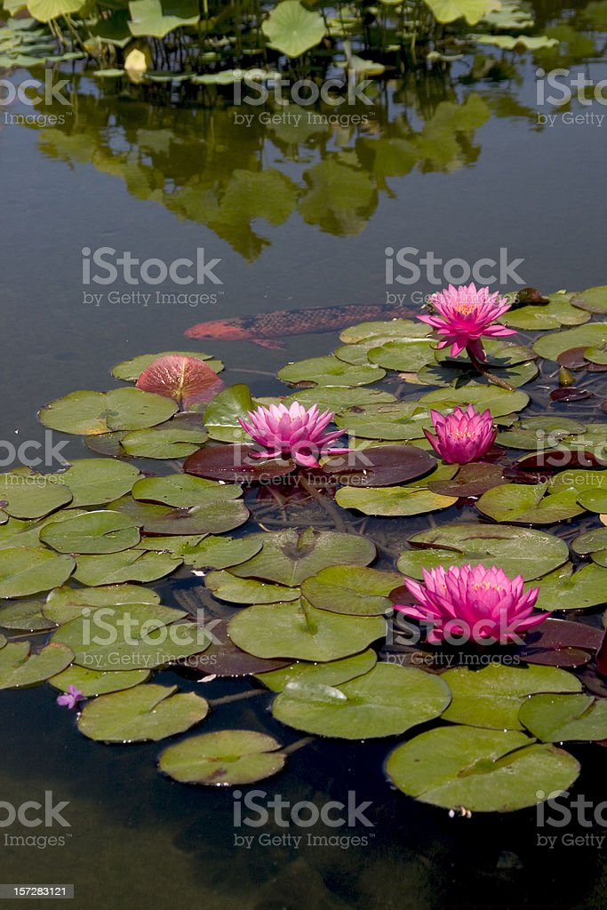 Waterlilies and Koi II royalty-free stock photo