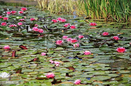 different varieties of waterlilies blooming on a pond