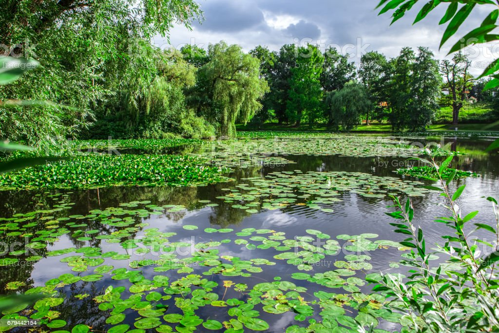waterlilies on the lake foto de stock royalty-free