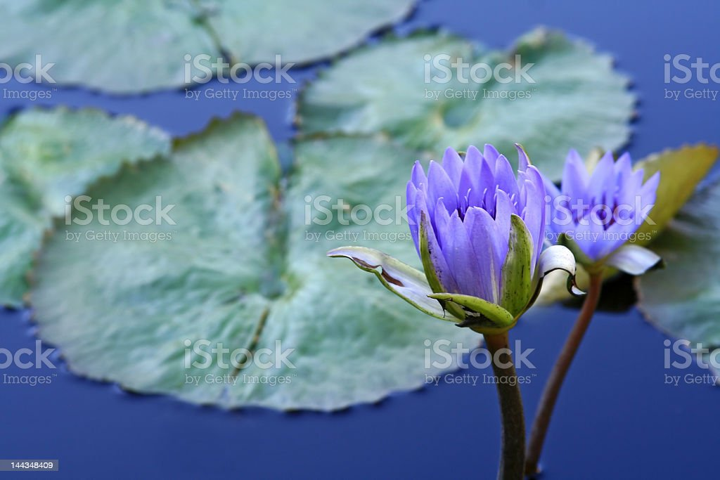 Waterlilies royalty-free stock photo