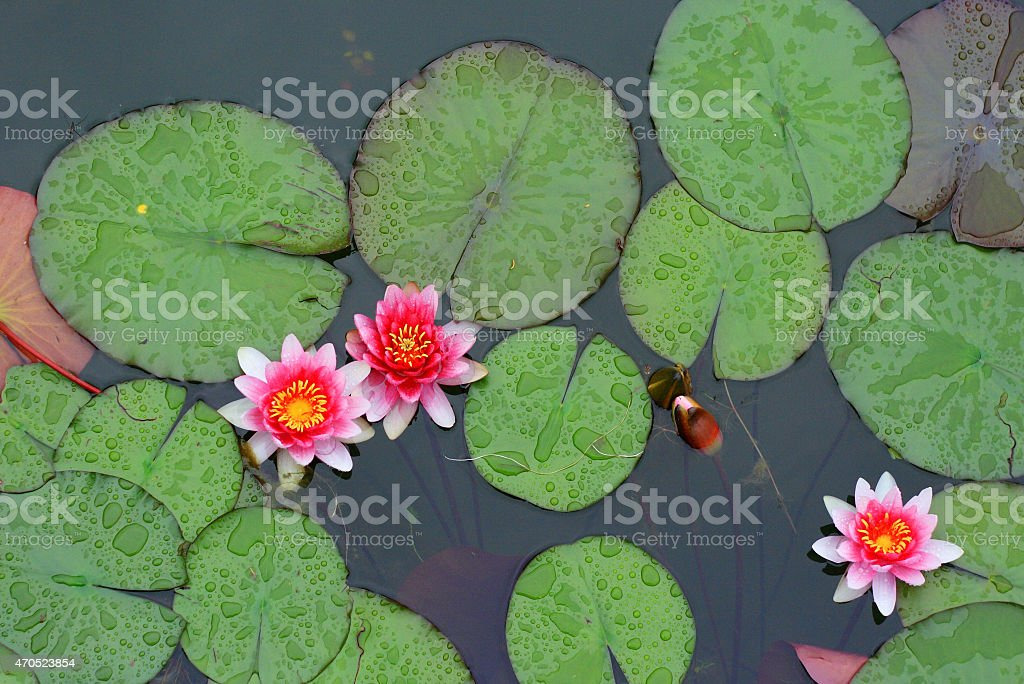 Water-lilies with raindrops royalty-free stock photo