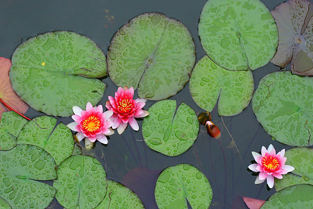 Water-lilies with raindrops stock photo