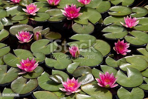 Waterlilly in pond with Lilly pads background, saturated color.  Image shot with Canon Rebel T6s 24 Megapixel DIGIC 6, 24-105mm f/4L IS USM lens.