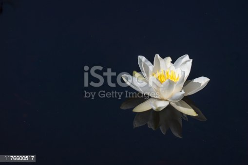 Waterlily floating on dark water