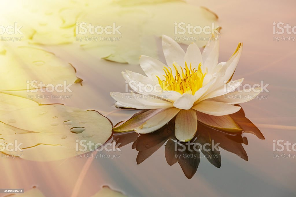 waterlily flower blooming in the pond stock photo