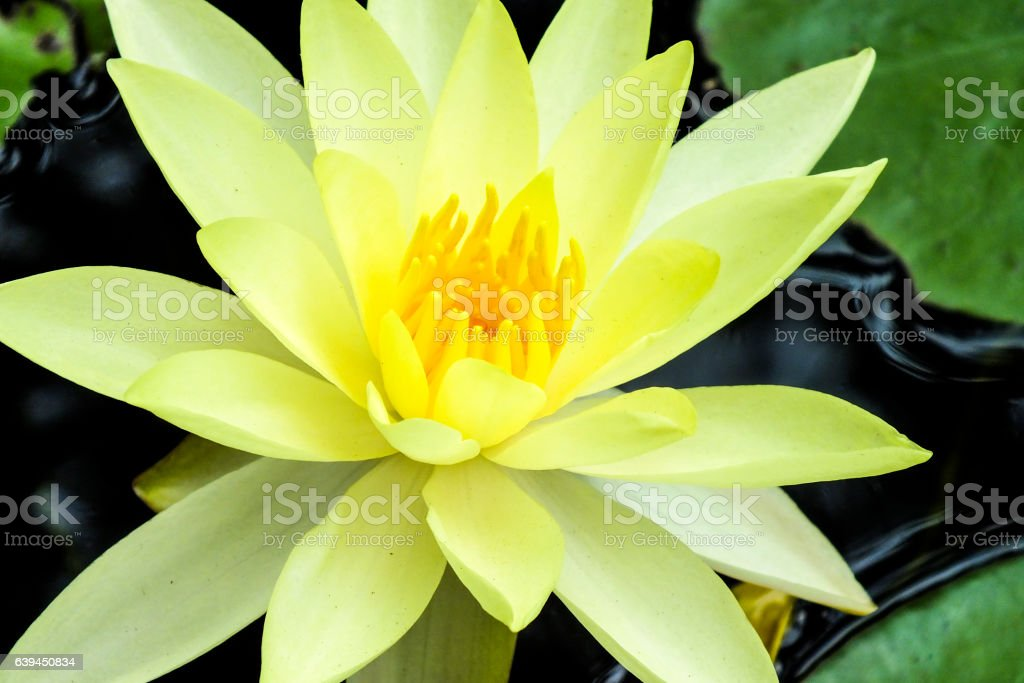 Waterlily flower in the pond stock photo