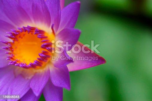 colorful waterlily III