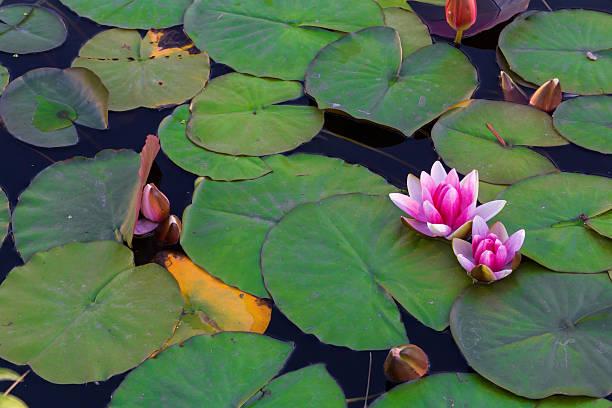 waterlily in giardino stagno - masaniello foto e immagini stock